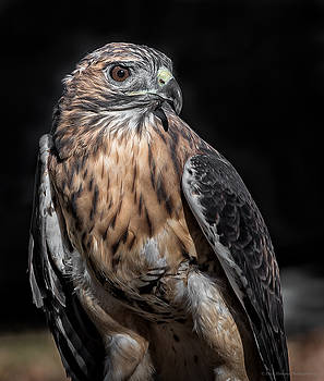 Red Tail by Phil Abrams