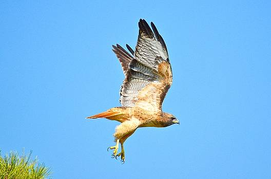 Red Tailed Hawk California by Sheila Price