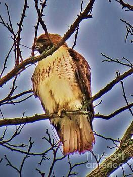 Judy Via-Wolff - Red Tailed Hawk