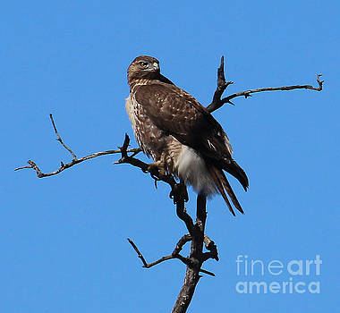 Red Tailed Hawk by Kathy DesJardins