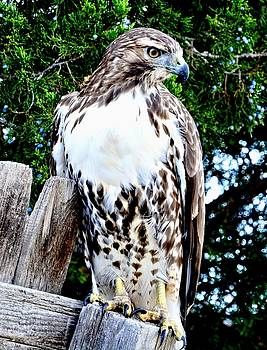 Red Tailed Hawk on Fence Post by Amy McDaniel