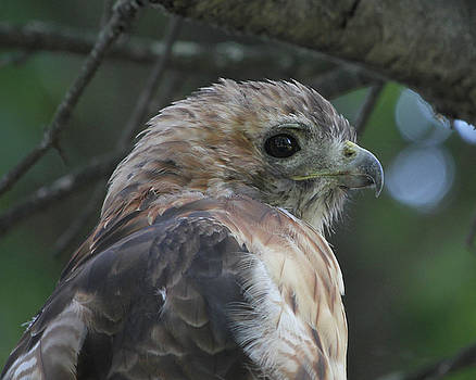 Red-tailed Hawk Portrait by Doris Potter