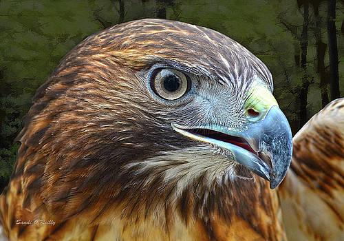 Red-Tailed Hawk Portrait by Sandi OReilly