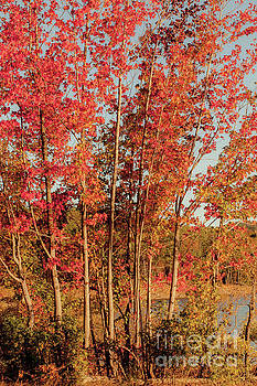 Red Trees by Iris Greenwell