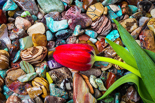 Red Tulip On Polished Stones by Garry Gay
