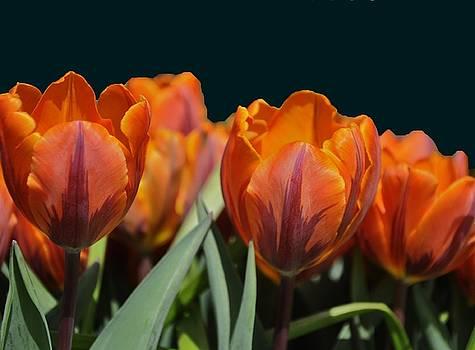 Red Tulip Winner by Vijay Sharon Govender