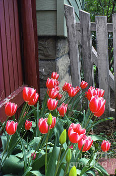 Red Tulips in a Wisconsin Garden by Greg Kopriva