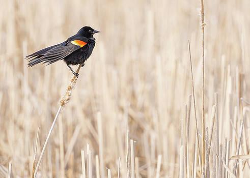 Red-winged blackbird in a Minnesota wetland by Jim Hughes