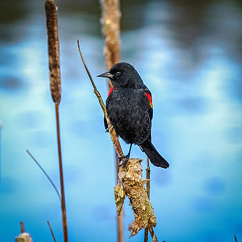 Red-Winged Blackbird by Ken Stanback