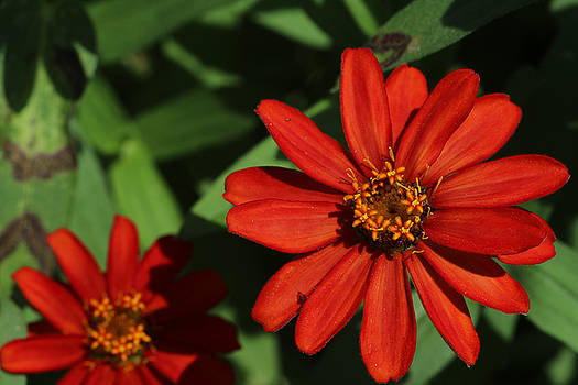 Red Zinnias by Don Pettengill