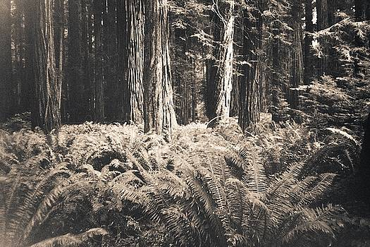 Redwoods by Anne Thurston
