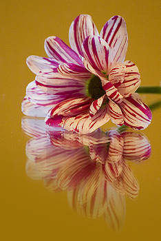 Reflections of Summer - Striped Gerbera Flower by Pixie Copley