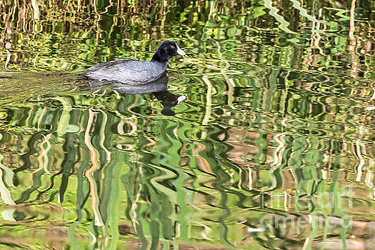 Kate Brown - Reflective Coot