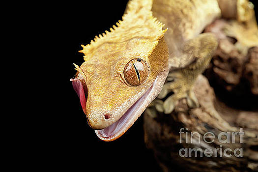 Simon Bratt Photography LRPS - Reptile close up with tongue