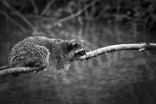 Restful Raccoon by Windy Corduroy