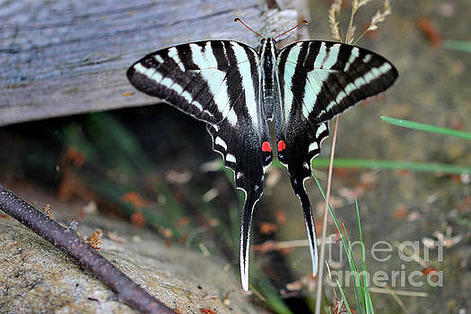 Resting Zebra Swallowtail Butterfly by Karen Adams