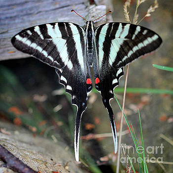 Resting Zebra Swallowtail Butterfly Square by Karen Adams
