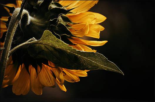 Reticent Sunflower by Douglas MooreZart