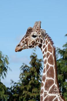 Reticulated giraffe by Steev Stamford