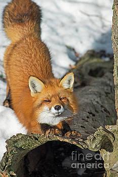 Reynard the Fox by Nina Stavlund