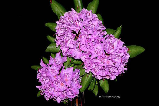 Rhododendron in Purple by Jeannie Rhode Photography