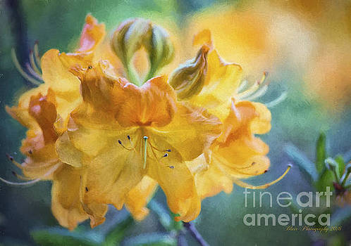 Rhododendron by Linda Blair