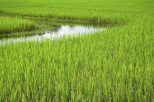 Rice Paddy Field in Siem Reap Cambodia by Julia Hiebaum