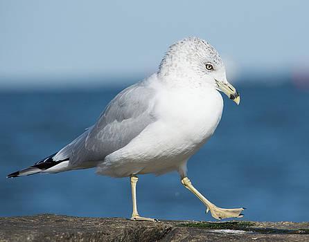 Ring-Billed Gull by Carla Mason