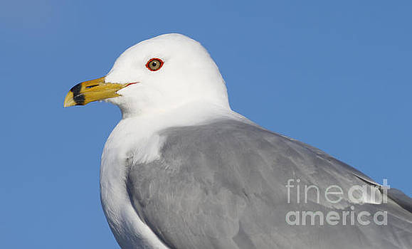 Ring-billed Gull by Debbie Parker