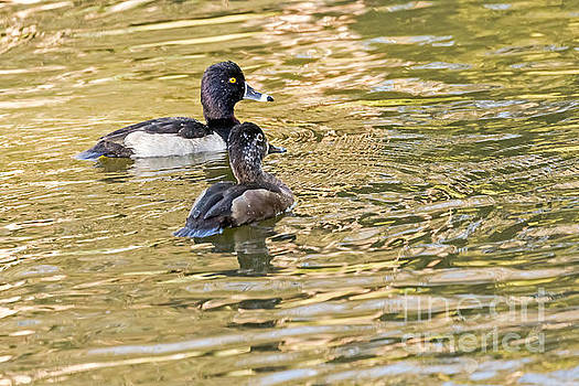 Ring-necked Couple by Kate Brown