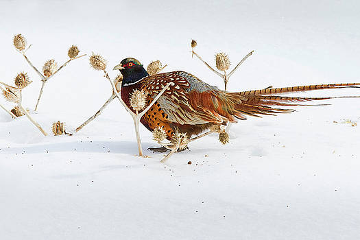 Ring-necked Pheasant by Greg Gard