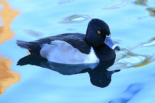 Ring-Necked Reflections by Shoal Hollingsworth
