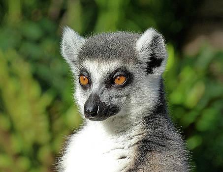 Ring-tailed Lemur Enjoying The Late Autumn Sun by Margaret Saheed