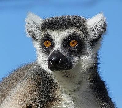 Ring-tailed Lemur Enjoying The Winter Sunshine by Margaret Saheed