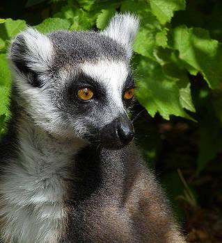 Ring-tailed Lemur In Summer Sun by Margaret Saheed