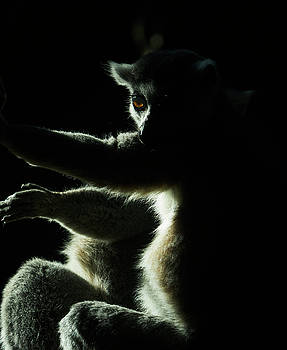 Ring Tailed Lemur by Steven Ralser