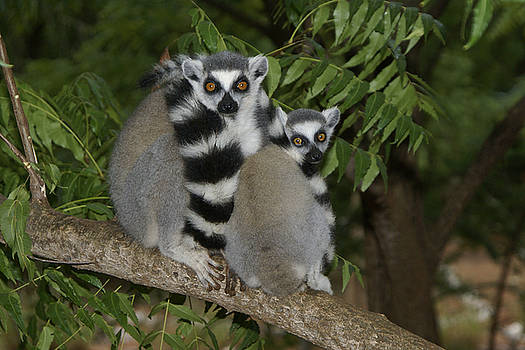 Michele Burgess - Ring-Tailed Lemurs