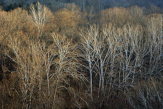 River Birch Trees - Mammoth Cave National Park by Keith Bridgman