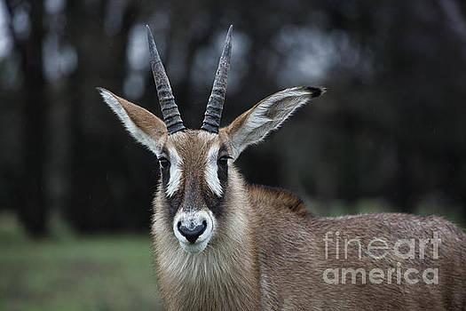 Roan Antelope V7 by Douglas Barnard