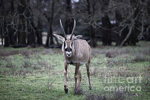 Roan Antelope V8 by Douglas Barnard