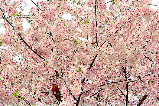 Robin and Pink Blooming Glory by Kathy Barney