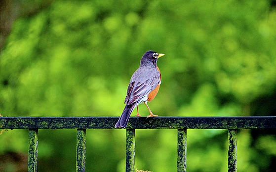 Robin On The Rail by Cynthia Guinn