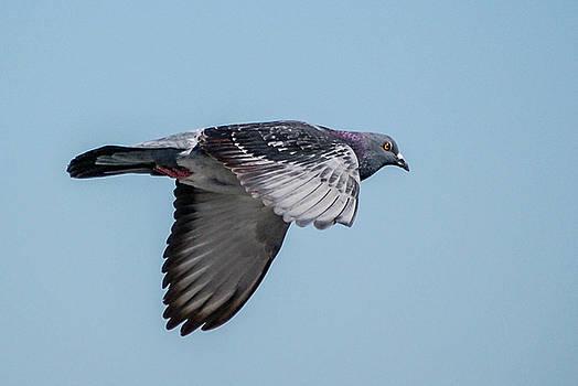 Rock Dove  by Wayne Higgs