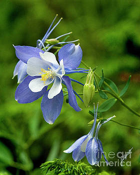 Rocky Mountain Blue Columbine by Jim Fillpot