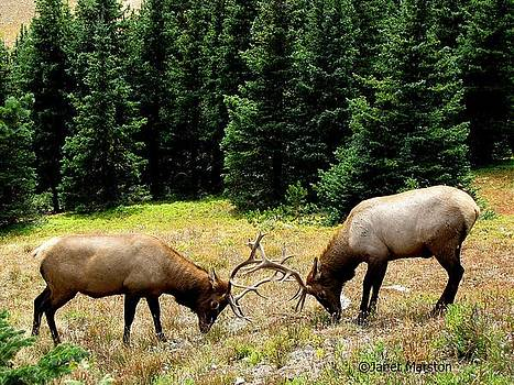 Rocky Mountain Elk Rutting by Janet Marston