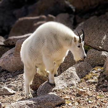 Rocky Mountain goats No. 2 by Lynn Palmer