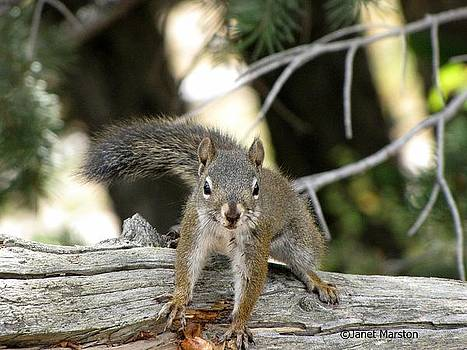 Rocky Mountain Squirrel Photo by Janet Marston