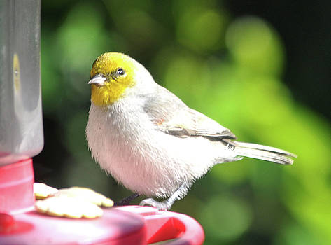 Rolly Polly Yellow Headed Warbler by Jay Milo