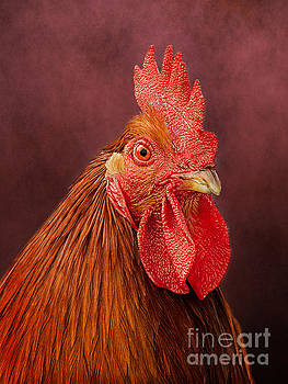 Rooster Portrait by Linsey Williams