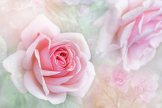 Rosa 'Aphrodite' by Jacky Parker